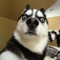 網友經常虐待金毛,只因它毛色長得不對,狗:我是黑金