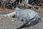 鳄鱼在沼泽捕食��当有人看到它的猎物时��忍不住发出惊叹��