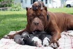 霸气外露的狗狗��长相颇凶的藏獒不是最凶的