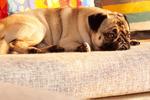 想要训练有素的巴哥犬吗��掌握训练技巧才是关键