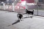 一只二哈被拴��另一只二哈转圈炫耀��狗��你看我多潇洒����