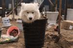 萨摩在院子里刨坑��主人生气把狗埋进土里��狗��沙?#29454;?#30495;舒服����
