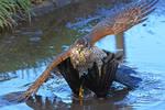 英国雀鹰捕食寒鸦手段惊人 将其摁水里淹死