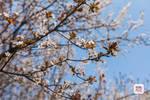 实拍£¡滨江公园二期最快下月底完工£¡超美樱花¡¢紫荆大?#35272;?#20102;£¡
