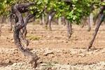 为何土壤的肥沃程度与葡萄酒品质成反比��