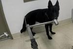 这些狗狗有一项特殊工作,嗅出癌症早期症状,有望拯救无数人生命
