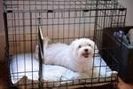 年纪大的狗狗为什么要进行笼内训练?特别是领养回来的狗狗