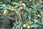 南方独有的一种水果,摘下不能直接吃,比荔枝还娇贵,北方很少见