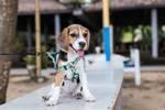 关节发育不全是什么?如果狗狗发育不全,我们该怎么帮它缓解疼痛