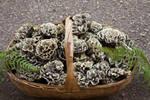 在野外见到这种菌可千万别错过��好吃且营养高��一斤卖出天价