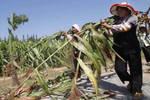 农村有种长得像竹子的农作物��有人叫它甜高粱��而有人称它甜芦栗