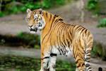 羅馬競技場上的猛獸來自何處?但非洲沒有老虎是怎么狩捕的呢?