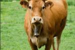 """農村俗語:""""正月的豬,五月的牛"""",為啥要這么說呢?"""