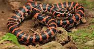 赤链蛇一听就是神话中蛇类,却想不到是无毒蛇