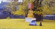 李世民种下的这棵银杏树,火到了国外,美了1400年……
