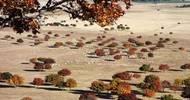 在我国的内蒙古,有比日本美100倍的枫叶林!这个地方叫代钦塔拉
