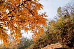 千年银杏落英缤纷,满眼金黄绝美景色