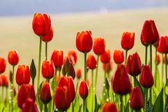 春节必去!!!南宁这座山被45万株郁金香、红梅、玉兰包围啦,美出天际……
