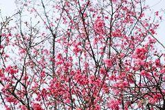 最新实拍!南宁的樱花已经开放啦!半个山坡都是,赶紧约!