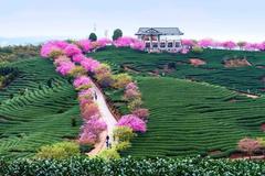 福建藏了个世界级赏樱地,不输日本!