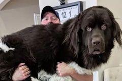 养一只巨巨巨巨巨巨巨巨巨巨大的纽芬兰犬,这屎估计要铲不少...