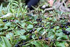 农村小哥山里摘这种黑黑的野果,农村娃基本都吃过,你认识它不
