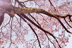 """美出天际!刷屏朋友圈的""""神仙玉兰""""最后的花期!这周日一起走花路~"""