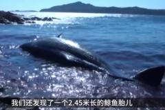意大利海滩冲上怀孕巨鲸,腹内竟藏44斤塑料