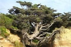 悬在两座山之间的大树,没土却活了几百年,这是怎么回事?