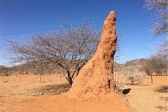 广西十万大山里,有一种蚂蚁用唾液建的蚁塔,最高6米还能当饭吃
