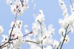 随手拍:阳春四月鸭子枝头叫,梅花杏露水中影