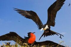 世界上飞得最快的鸟,半年能绕赤道一圈,不会水中捕鱼靠打劫过活