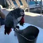在国外买了一只鹦鹉,每顿饭只吃草莓,快养不起了!