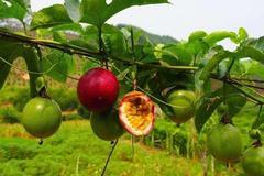 常吃的百香果如何高产种植?该怎样预防病虫害?看完后我明白了!