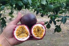 百香果移栽有什么技术要点?出现皱果要怎么办?