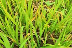 水稻什么时候施叶面肥?正确施用叶面肥,能促生长、抗病增产