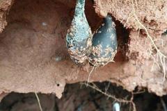 大雨过后农村小伙上山挖白蚁挖出宝贝