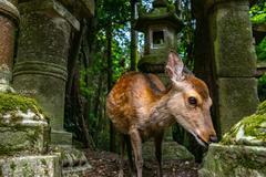 """奈良小鹿,日本最宠的""""使者"""",每年损失农业60亿"""