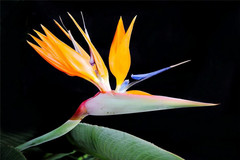 广西有种姿态最优雅的花,花型如仙鹤展翅欲飞,叶子大如蕉叶