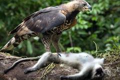 吕宋岛藏有世上最凶鸟,爪子有人手大,最恨猴子先把它眼啄瞎再吃