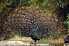 云南红河谷有种最漂亮的鸟,求偶时一天开屏20次,饿急了会捕食蛇