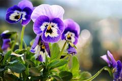 世界上最呆萌可爱的花,像小花猫扮鬼脸,为何花瓣都有三种颜色