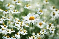 """具惠善收到的那朵雏菊,最后一瓣竟然是""""他不爱我"""""""