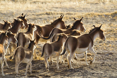 羌塘发现藏野驴被狼追捕,为了驴鞭,至今又成了盗猎者的新目标