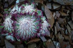 西藏山上有种软萌的濒危植物,浑身毛茸茸像兔子,却被采来煮泡面