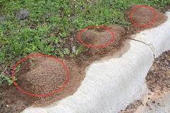注意!南宁多处惊现红火蚁!多人曾被咬,已有人因此死亡!