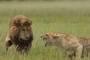 动物也有七年之痒? 美国母狮咬死伴侣 八年共育三仔