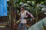 他们在缅北种香蕉