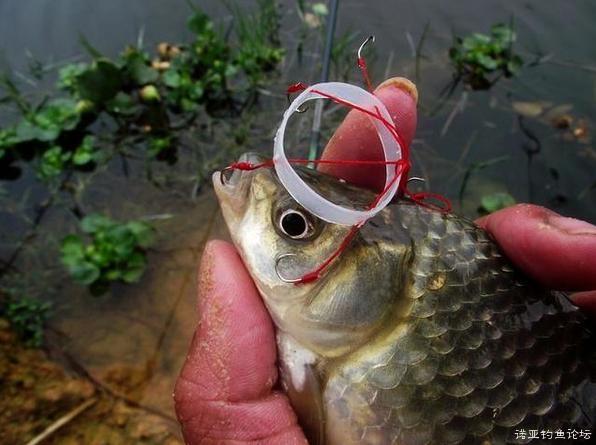 高手自制1招夏季钓鲫鱼必杀绝招 每次至少31斤