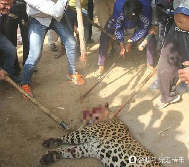 濒临灭绝花斑豹,闯进村庄伤及人命,遭乱棍打死